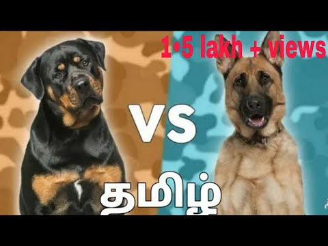 Rottweiler vs German Tamil Pro pet