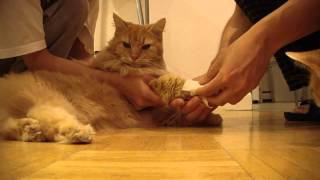 Cat 貓 Wong declawing surgery for medical reason part 1 of 4 learn to wrap gauze pads