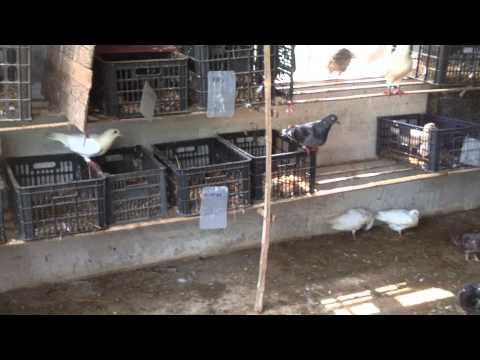 mô hình nuôi chim bồ câu hiệu quả tại huyện xuân trường tỉnh nam định 0984139558