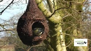 Wildlife World fuglehus i flet til rødhals video