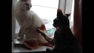 Смешное видео про котов, Сфинкс не понимает, во что одеты другие кошки :D