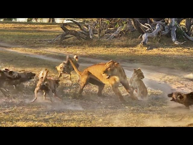 Lioness Takes a Beating by Wild Dogs to Save Her Cub