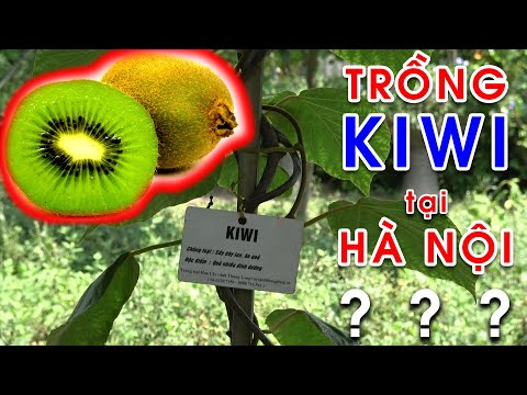 Có nên trồng cây Kiwi tại Hà Nội? - Công viên thực vật cảnh Việt Nam