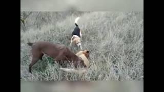 охота на лису с биглем по камышу