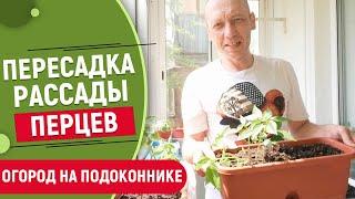 Как пересадить рассаду перцев на балкон