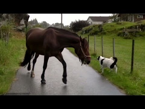 Distraction: Dog pulls horse