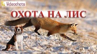 Охота на лис! ЭТО ВАС ПОРАЗИТ - Videoohota