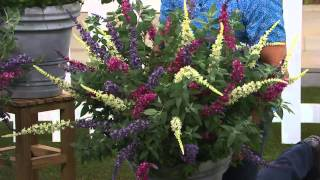 Cottage Farms 3-pc. Flutterby Multi-Color 3-in-1 Butterfly Bush with Dan Hughes