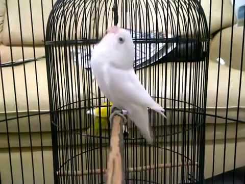 albino love bird/lb ngekek panjang