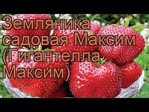 Земляника садовая Максим (Гигантелла Максим) 🌿 обзор: как сажать, рассада земляники