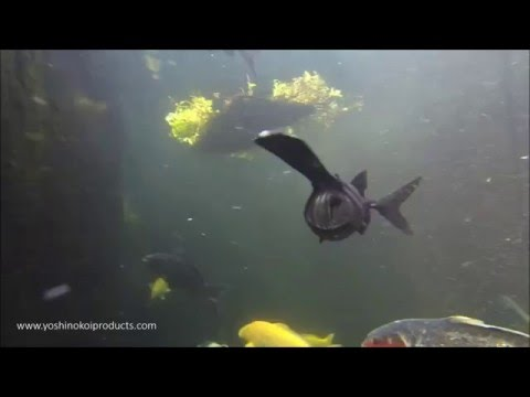 American Paddlefish Eating 2016