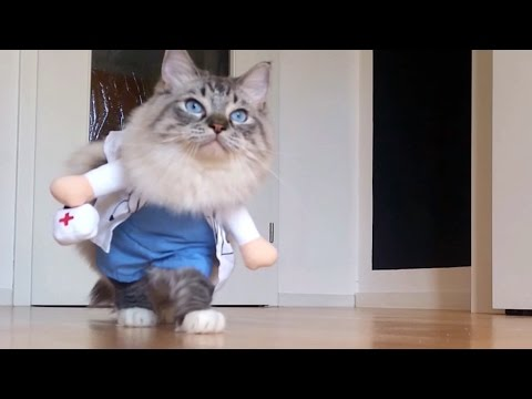 Sweet Doctor-Cat Ragdoll Thorin