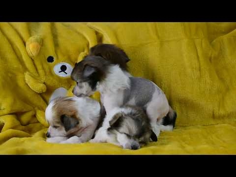 Chinese Crested puppies 5 5 wks part 2