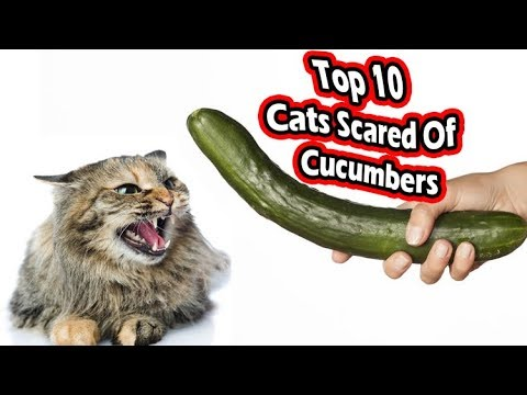 Top 10 cats scared of cucumbers (cats vs cucumbers)