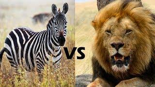 Walki Zwierząt - Zebra Vs Lew
