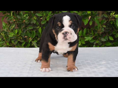 English Bulldog Puppies Puppy Black Tris Tri Triple Carriers Chunky Royals 5 Weeks Old