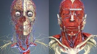3D Анатомия человека - голова и шея. / 3D Anatomy human - head and neck.