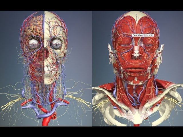 3d 3d Anatomy Human Head And Neck