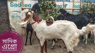 090   Best Goat Collection of Bangladesh   Sadeeq Agro   ZbGH 2019
