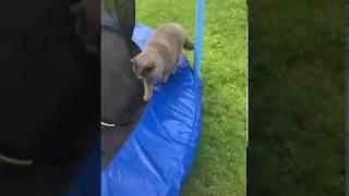 DeNiro British Shorthair cat Kot brytyjski na trampolinie play ball