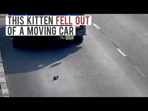 Little Kitten Falls Out Of A Moving Car On A Busy Higway In Russia