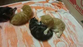 Котята мейн-куны играются, возраст 3 недели