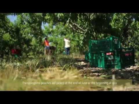 Au coeur des vergers de pêches avec Yannick Giraud / Inside peachs' orchards with Yannick Giraud
