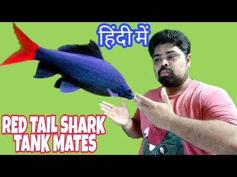 Red Tail Shark Tank Mates In Hindi | Prathmesh Aquatics In Hindi