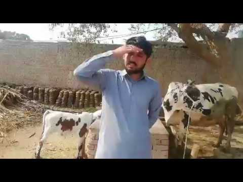 Download Sahiwal Cow And Australian Cross Cow For Sale In