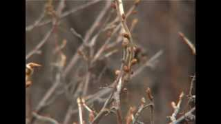 Почковый клещ смородины(Почковый клещ смородины или, как его еще называют - смородинный клещ - чрезвычайно распространен и опасен...., 2012-08-26T15:07:50.000Z)
