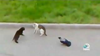 Crows vs Cat vs Cat Street Fight Explained