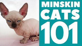 The Minskin Cat 101 : Breed & Personality