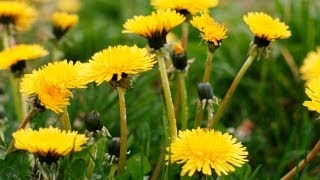 How to Cook With Dandelions | P. Allen Smith Cooking Classics