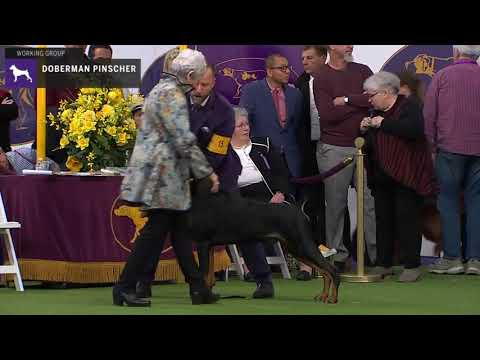 Doberman Pinschers | Breed Judging 2020