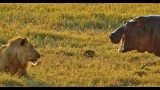 Hippo provokes 9 LIONS
