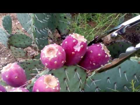 Собираем плоды кактуса Опунции.Аризона,США