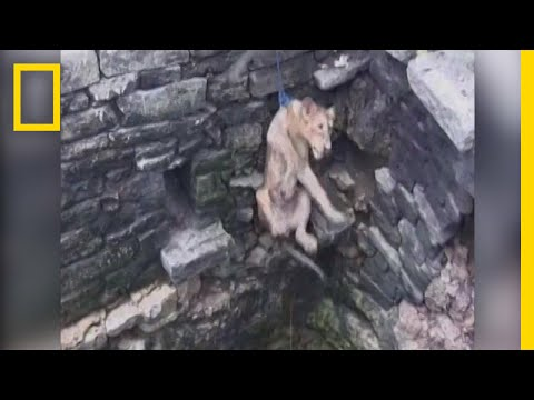 Watch: Lion Cub Rescued After Falling Down 80-Foot Well | National Geographic
