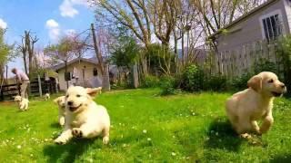 Golden Retriever Puppies - L' EMPORIO GOLD