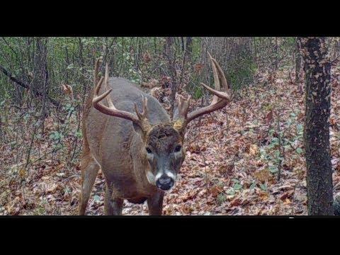 Big Minnesota Buck Down!! Bow Kill Of Buck With Triple Brow Tines.