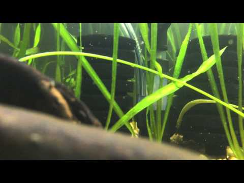 Microphis Deocata 2015 Indian Royal Green Pipefish Rainbow Belly Pipefish
