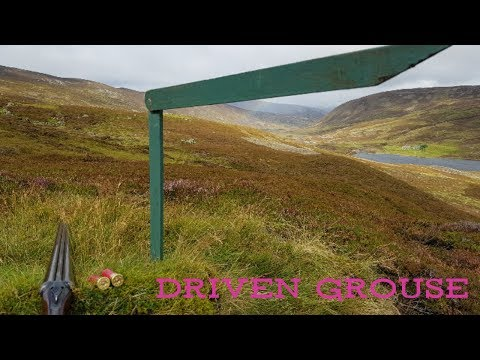Driven Scottish highland grouse!