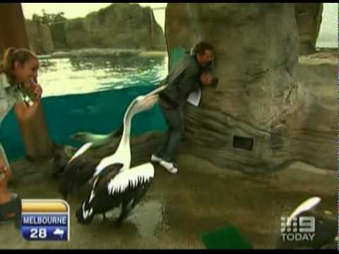 Pelican Attacks Reporter - Australia