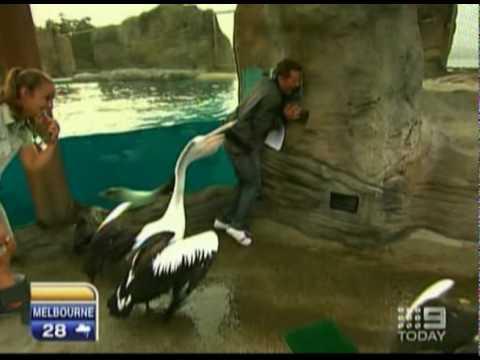 Pelican Attacks Reporter - Australia