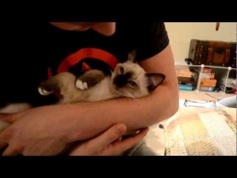 Siamese Kitten Lullaby