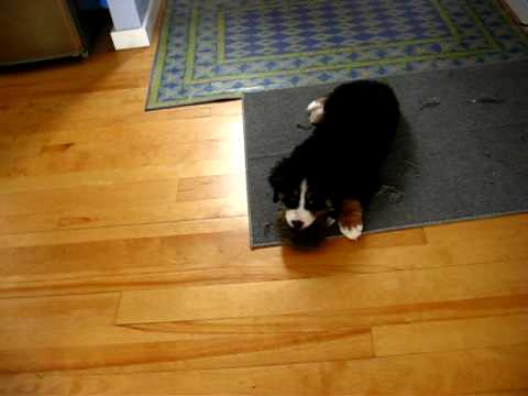 Bernese mountain dog puppy playing and doing tricks