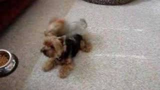 Yorkshire Terriers Spinning  For Food