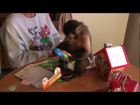 Capuchin Monkey Wolfgang