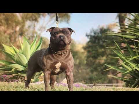English Staffordshire Bull Terriers, Staffy, Staffordshire Bull Terriers, Staffies (NOT A PIT BULLS)