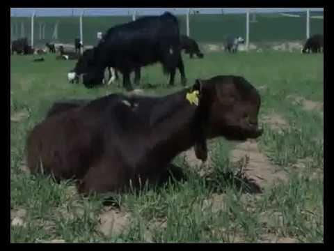 Shami goat breeding in new ways in Kurdisatn - YouTube