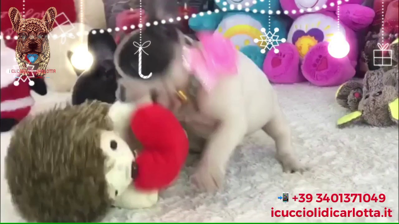 I Cuccioli Di Carlotta Bulldog Francese Bianco E Blu Occhi Azzurri